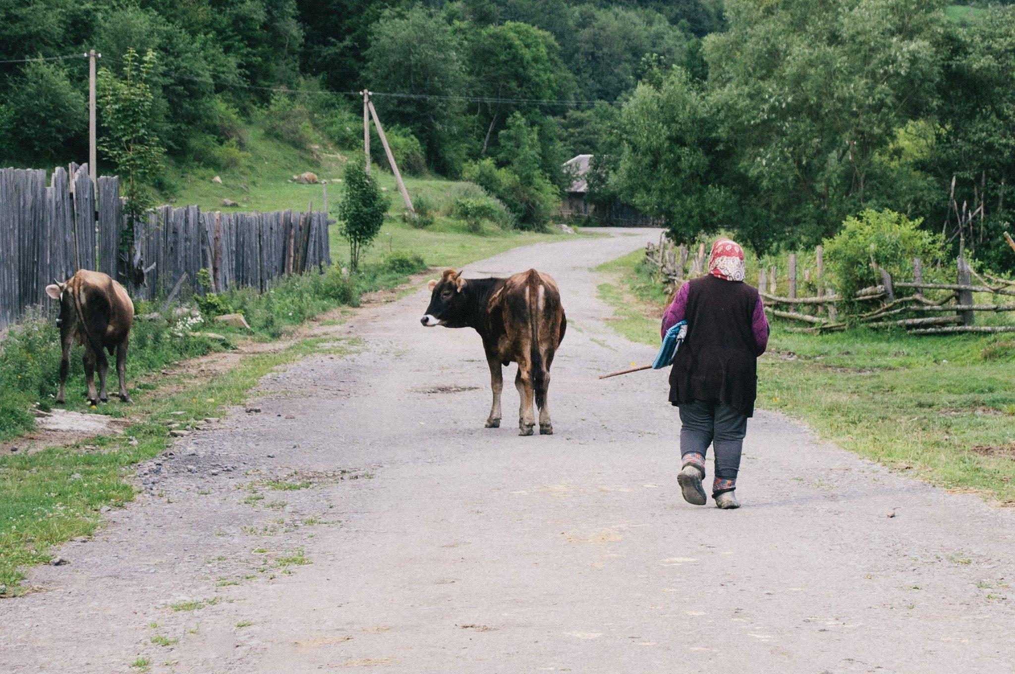 Paní žene krávy na Ukrajině